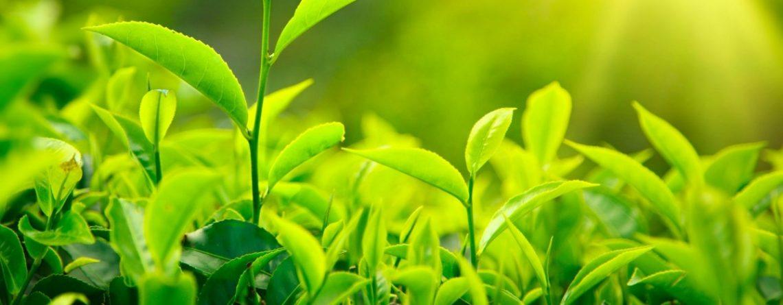 Articol Ceaiul verde și puterea sa vindecătoare - Tehnologie pentru viață