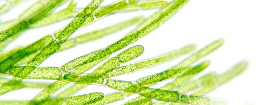 Articol Algele Klammath, miracolul verde dintr-un lac vulcanic - Tehnologie pentru viață