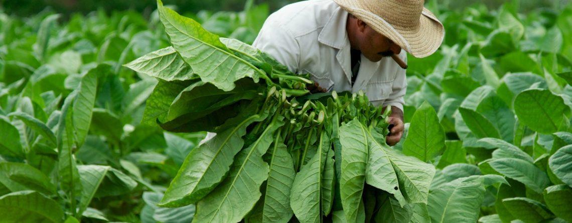 Articol Ce legătură este între vitamina B şi tutunul natural? - Tehnologie pentru viață