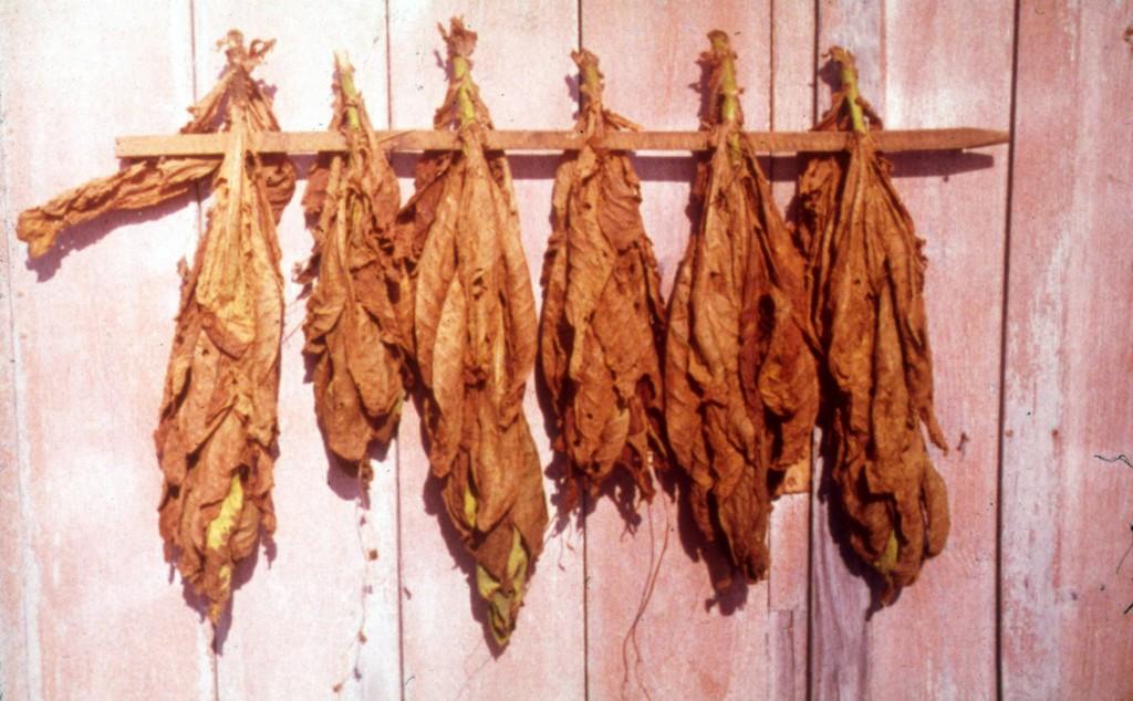 frunze de tutun la uscat