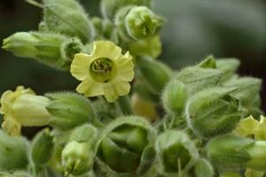 floare de tutun
