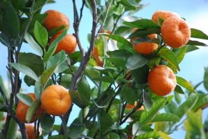 citrice vilcabamba